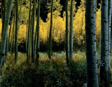 Aspen, Colorado Day for night, a grove of Aspens, nestled against the dark cliffs around Aspen, Colorado. The beauty of golden leaves on green grass was enhanced by the light on the leaves and the darkness of the background. But its the quiet that pervades these canyons as you walk among them. Then the wind drifts through the canyon ruffling the leaves, breaking the silence in a most peaceful way.